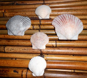 Scallops are one of my favorite types of shells to collect. Photo R. Anderson