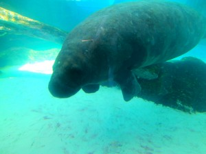 Mote is home to a pair of manatees named Hugh and Buffet. Photo R. Anderson