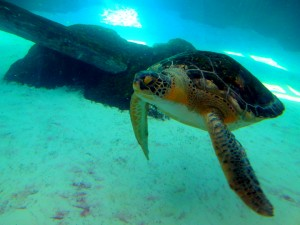 Sea turtles like this one are one of several endangered and threatened species that can be seen at Mote Aquarium. Photo R. Anderson