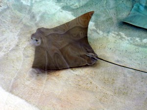 A sting ray makes the rounds at Mote Aquarium. Photo R. Anderson
