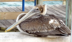 Pelicans like this one are especially susceptible to oil spills. Photo R. Anderson