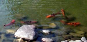 Koi are common in fish ponds, pet goldfish not so much. Photo R. Anderson